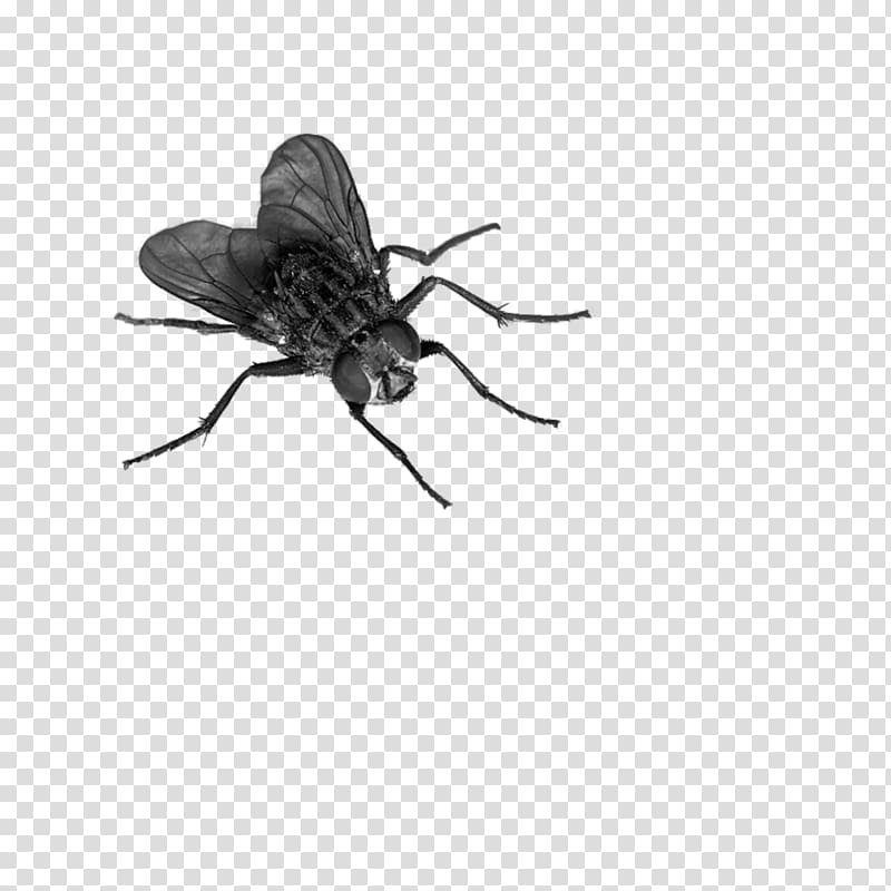 Flies clipart mosquito. Black horse fly transparent