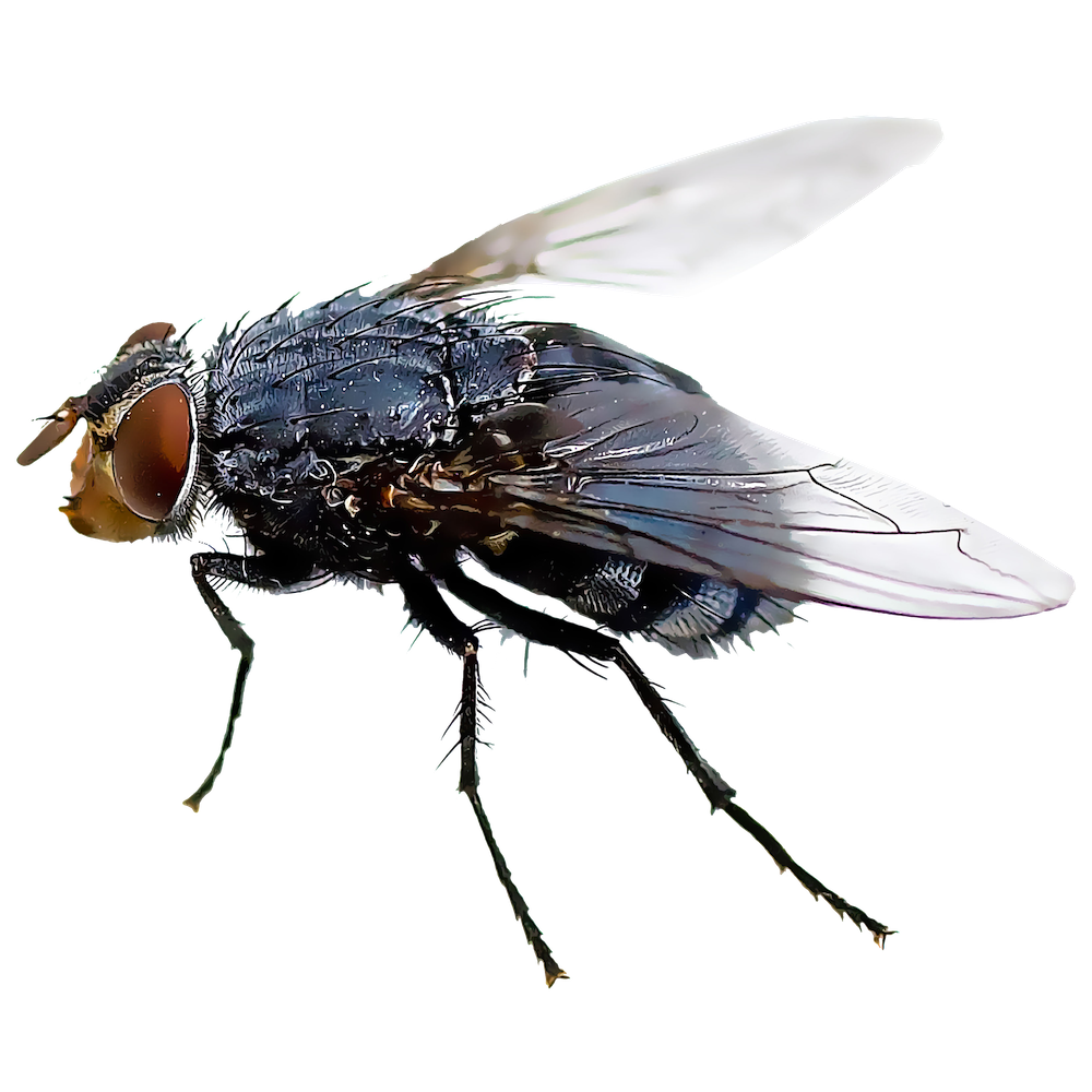 Black fly insect housefly. Flies clipart mosquito