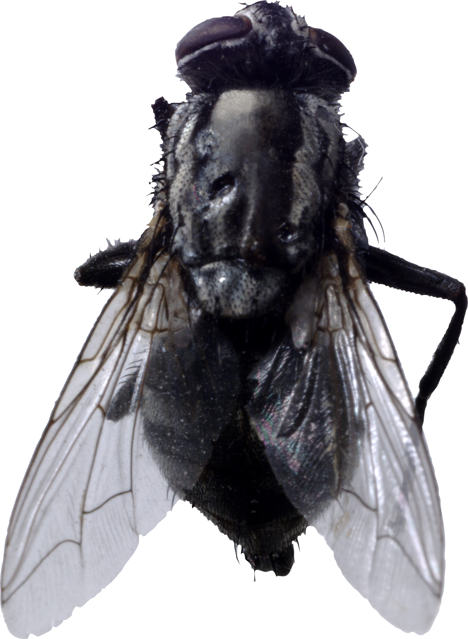 Fly png image free. Flies clipart two