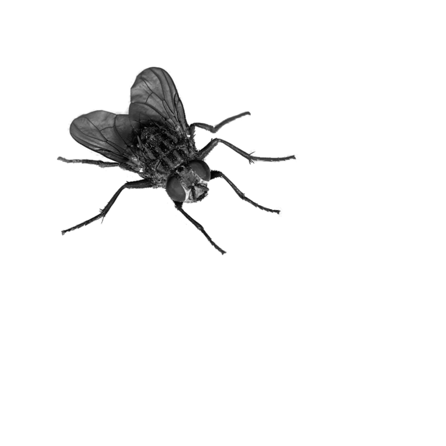 Png image free download. Fly clipart winged insect