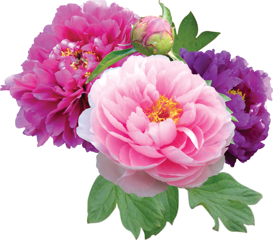 Transparent png cliparts i. Peony clipart wedding flower