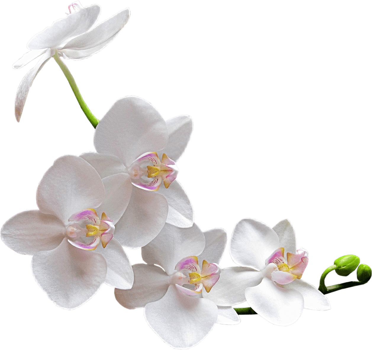 Floral clipart orchid. Pin by spring studios