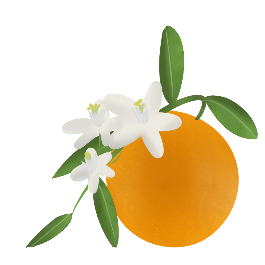Florida clipart orange blossom.  collection of high
