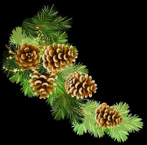 Pine branch with cones. Flour clipart transparent background