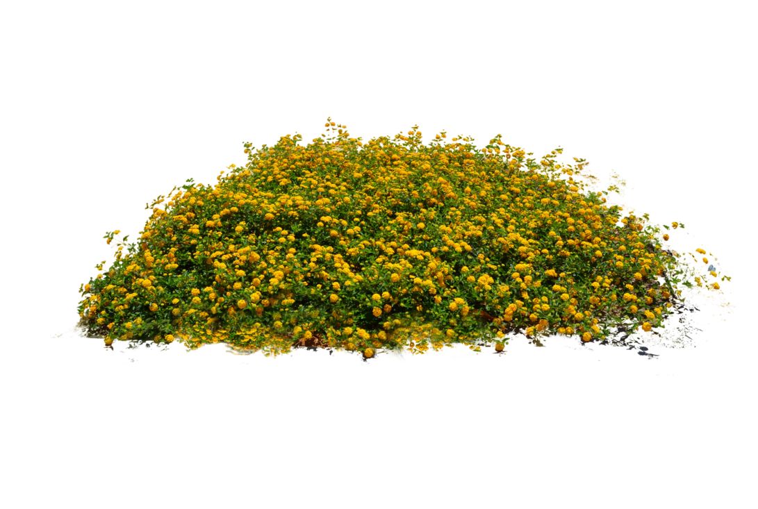 Yellow stock photo dsc. Flower bed png