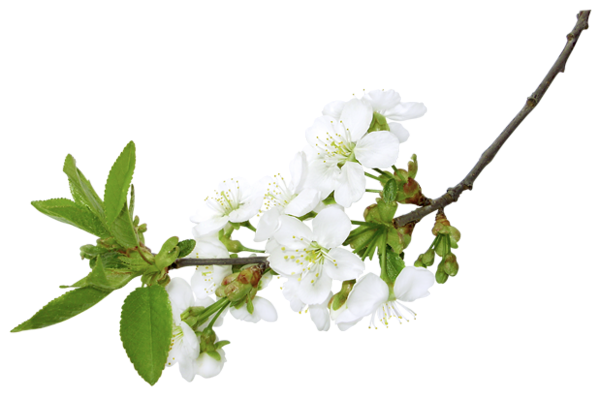 Flower branch png. Gallery spring