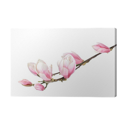 Flower branch png. Magnolia isolated on a