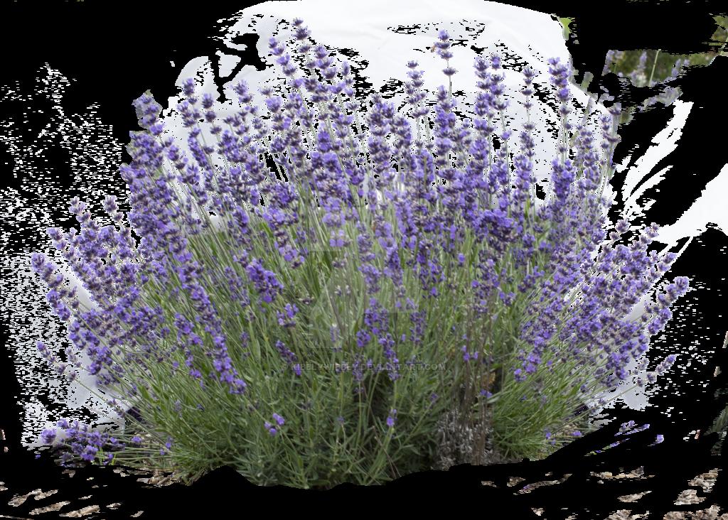 Lavender by kibblywibbly on. Flower bush png