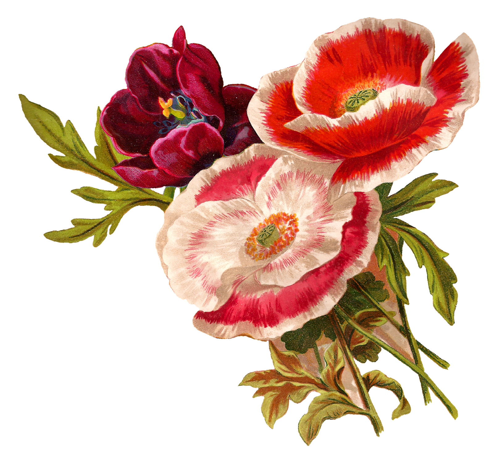 Poppy clipart three. Flower old illustration botanical