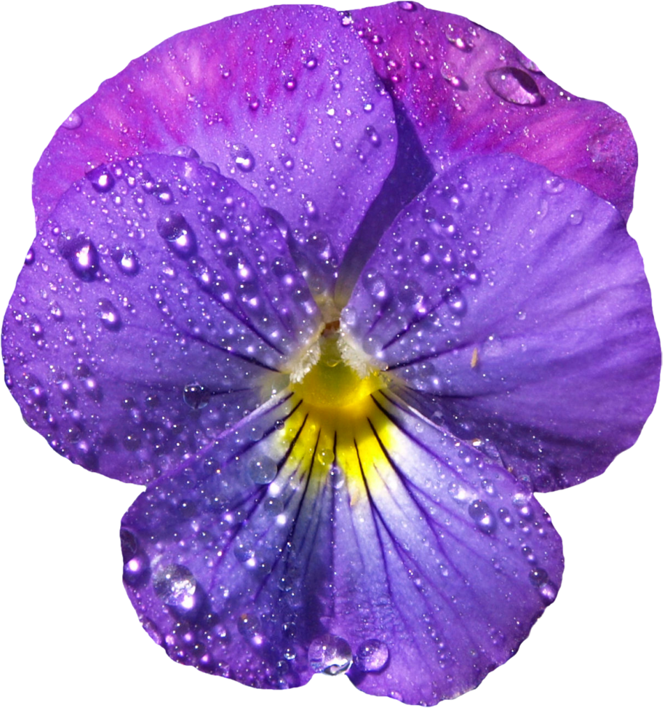 Violet flower png. Pansy clipart viola free