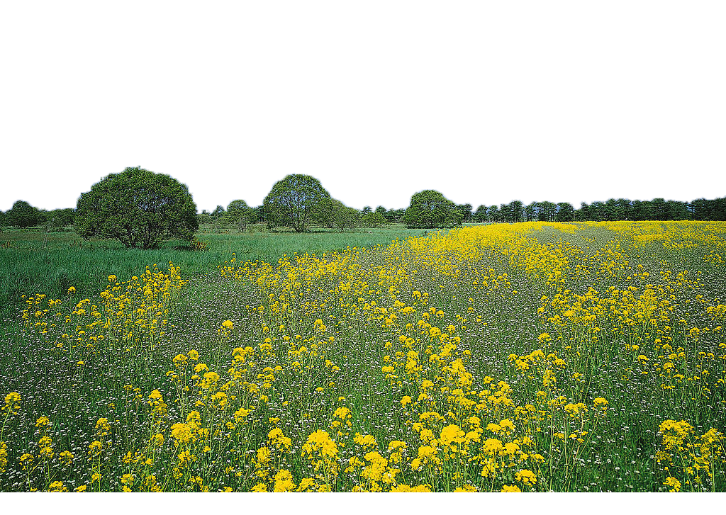 No ha ni te. Flower field png