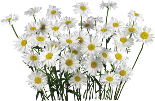 White camomile fifteen isolated. Flower field png