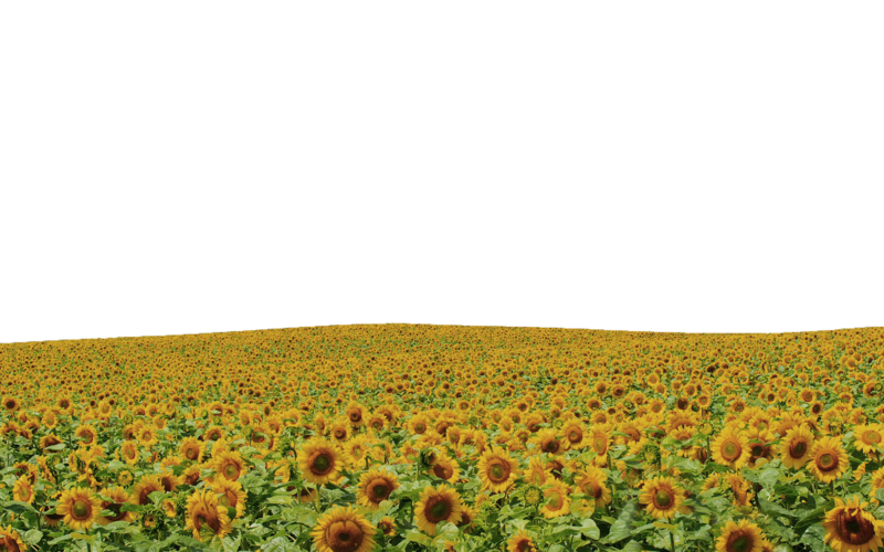 Flower field png. Common sunflower sky rapeseed