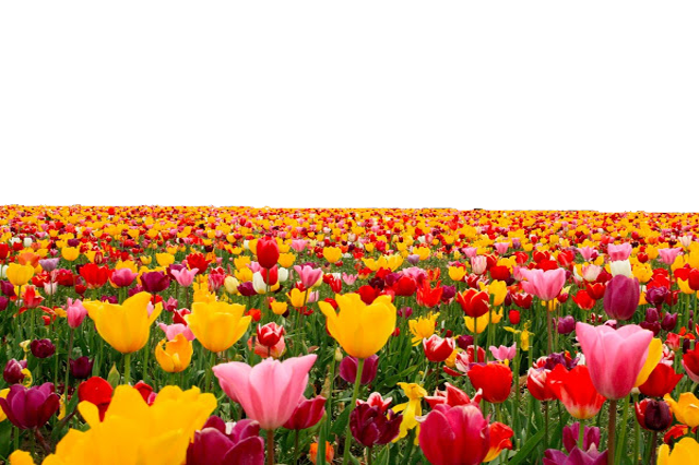 Flower field png. Tulip file use anywhere