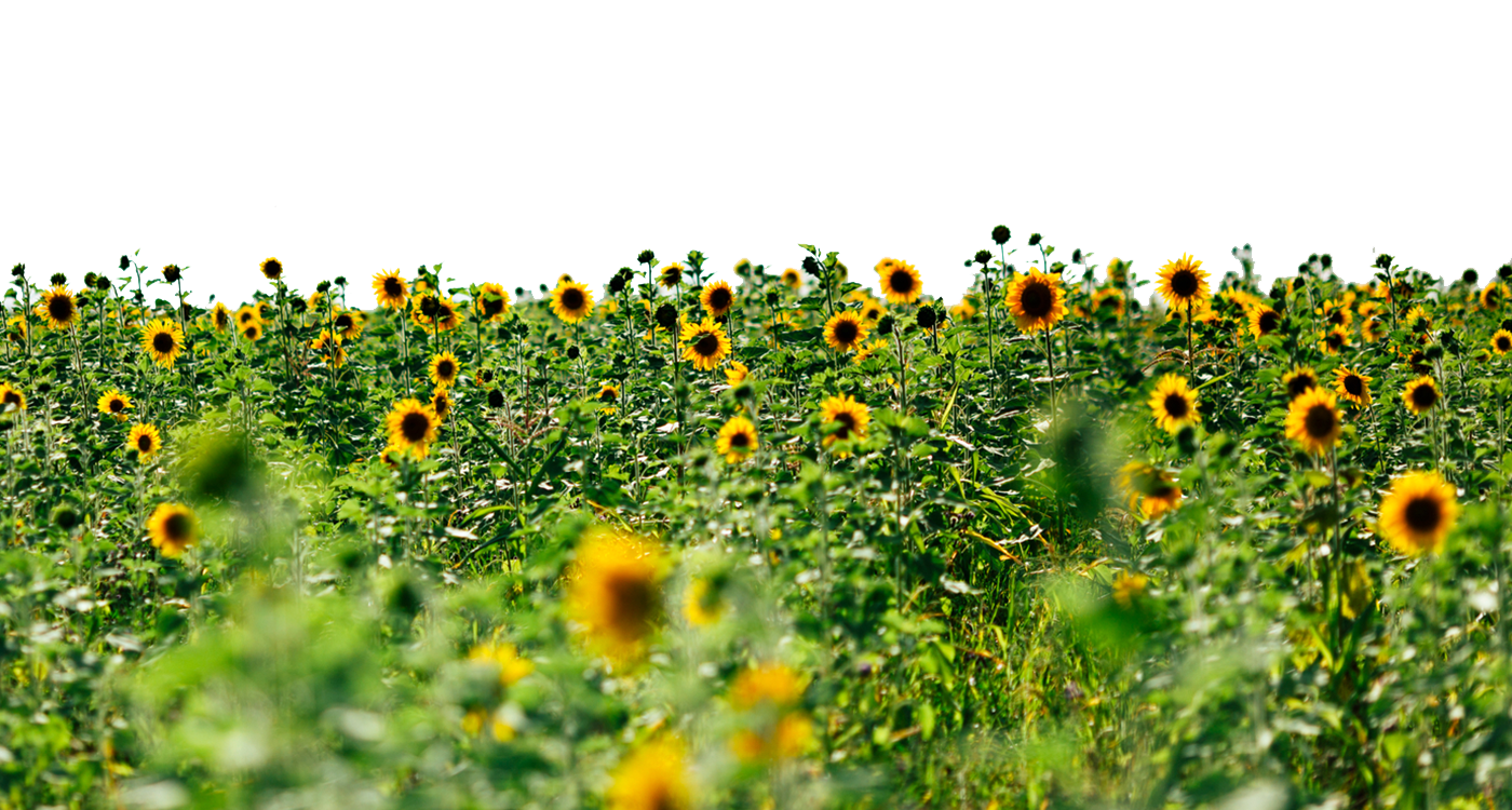 Sunflowers transparent images all. Flower field png
