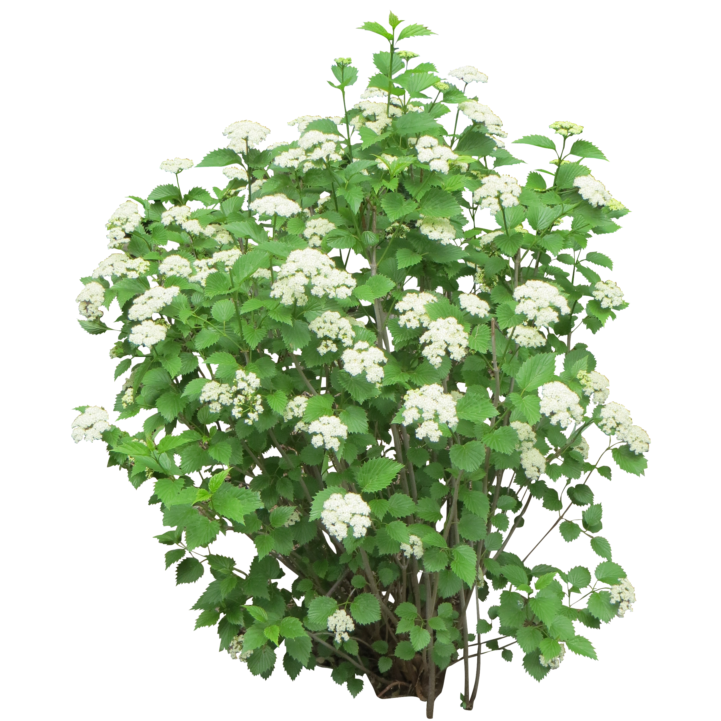 Bushes images free download. Flower plants png