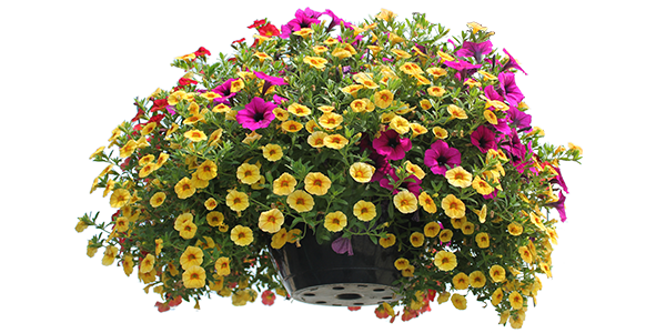 Flower plants png. Annual gulley greenhouse garden