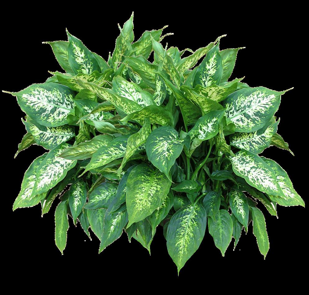 Transparent images pluspng showing. Flower plants png