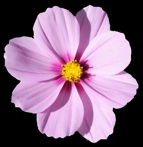 Flower png transparent. Blossom image pngpix
