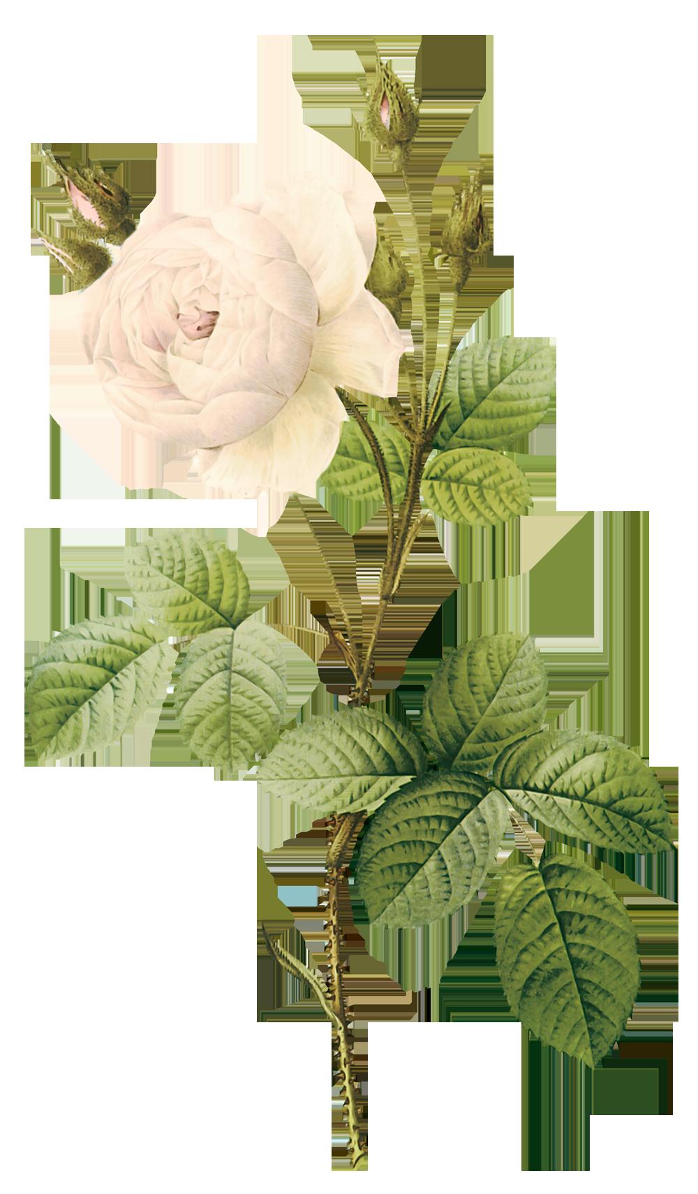 White roses image purepng. Flower stem png