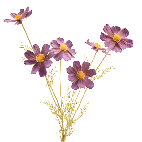 Luxury purple blue cosmos. Flower stem png