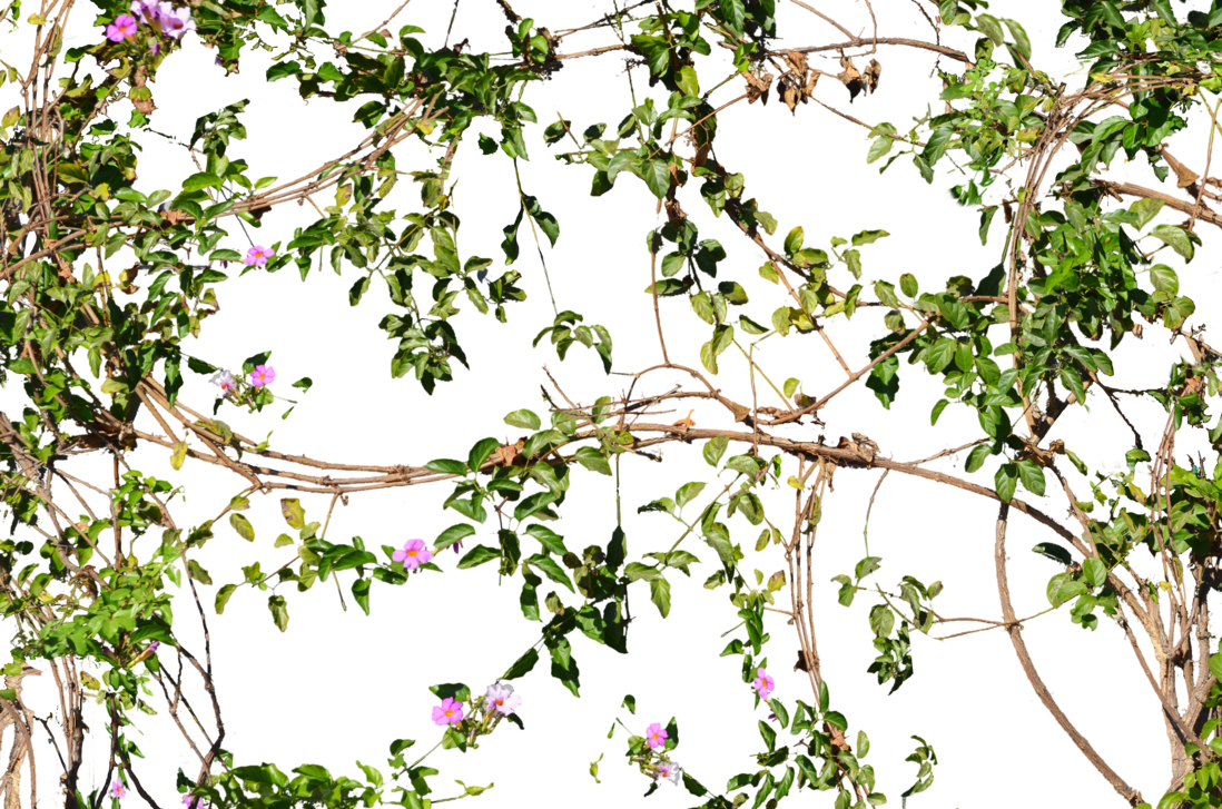 Flowers growing on a. Flower vines png