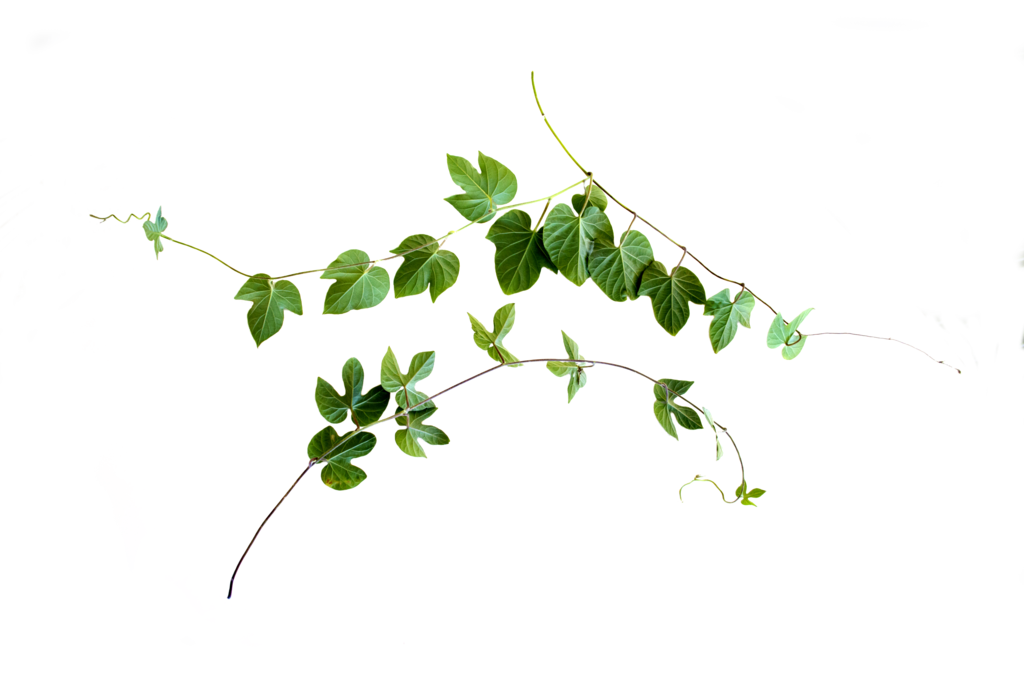Vine cut out by. Flower vines png