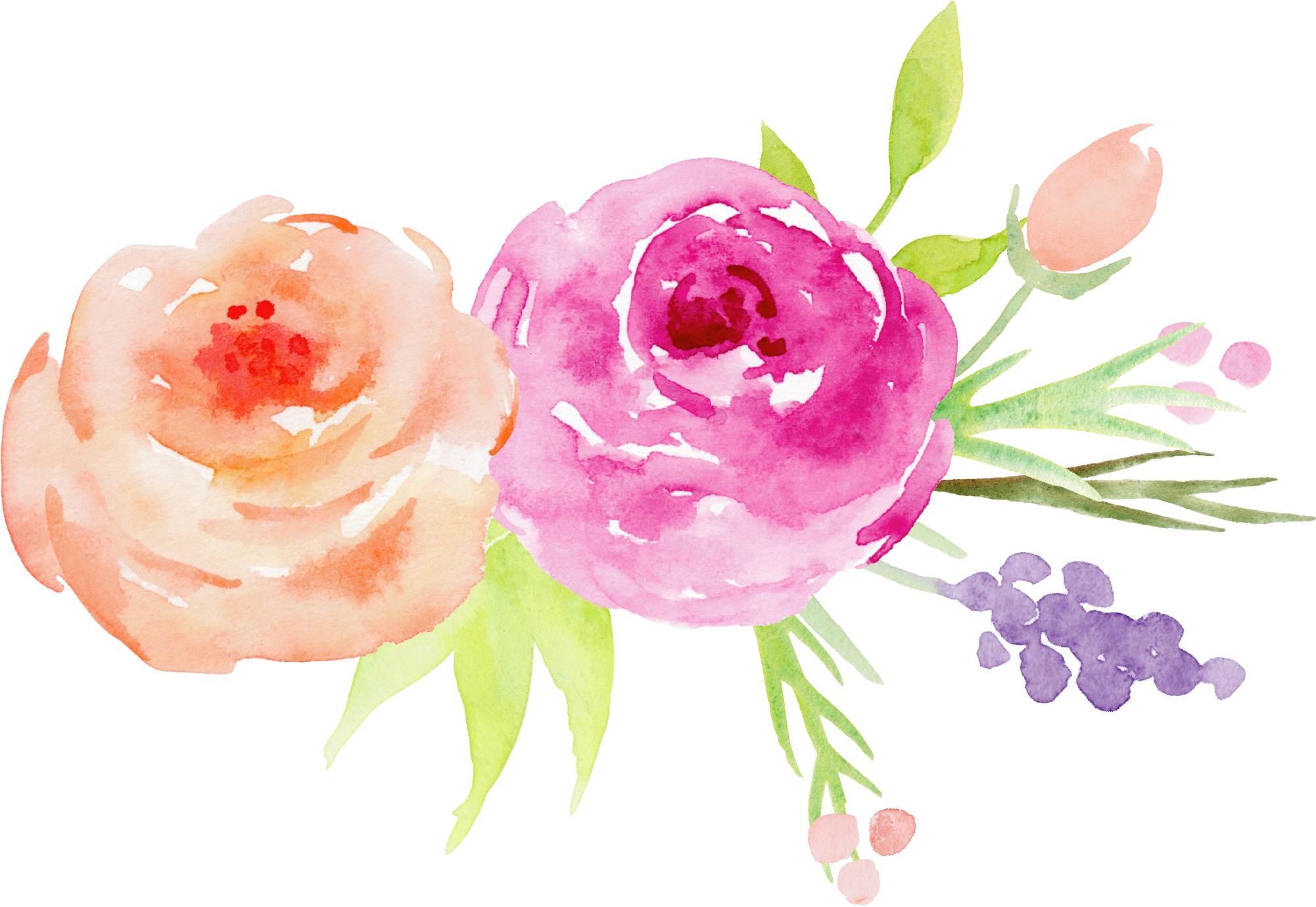 Painting garden roses hand. Flower watercolor png