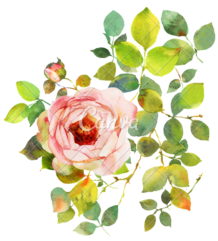 Rose photos by canva. Flower watercolor png