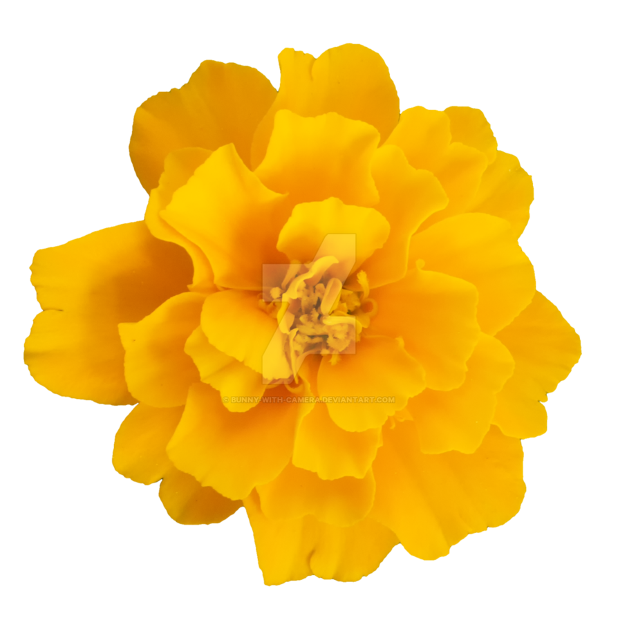 By bunny with camera. Yellow flower png