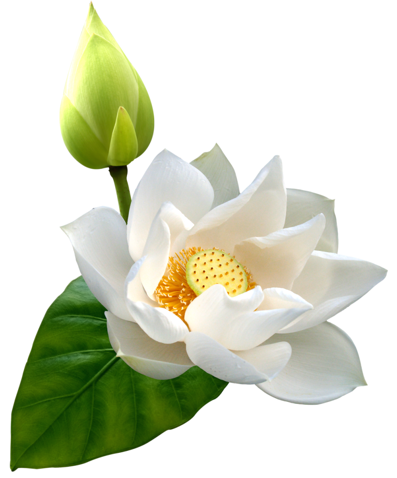 Flowers clipart name. White lotus png clip