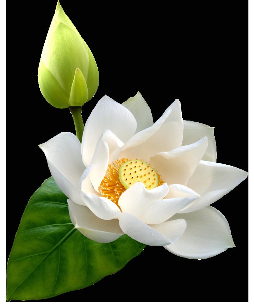 Lotus clipart large flower. White png clip art
