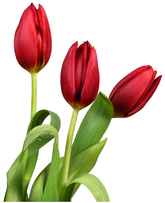 Red transparent tulips clip. Flowers clipart tulip