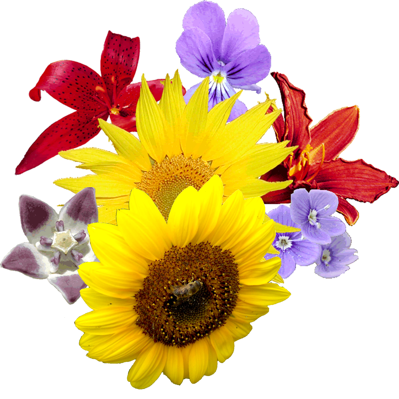 Flowers png images. Flower clipart transparent free