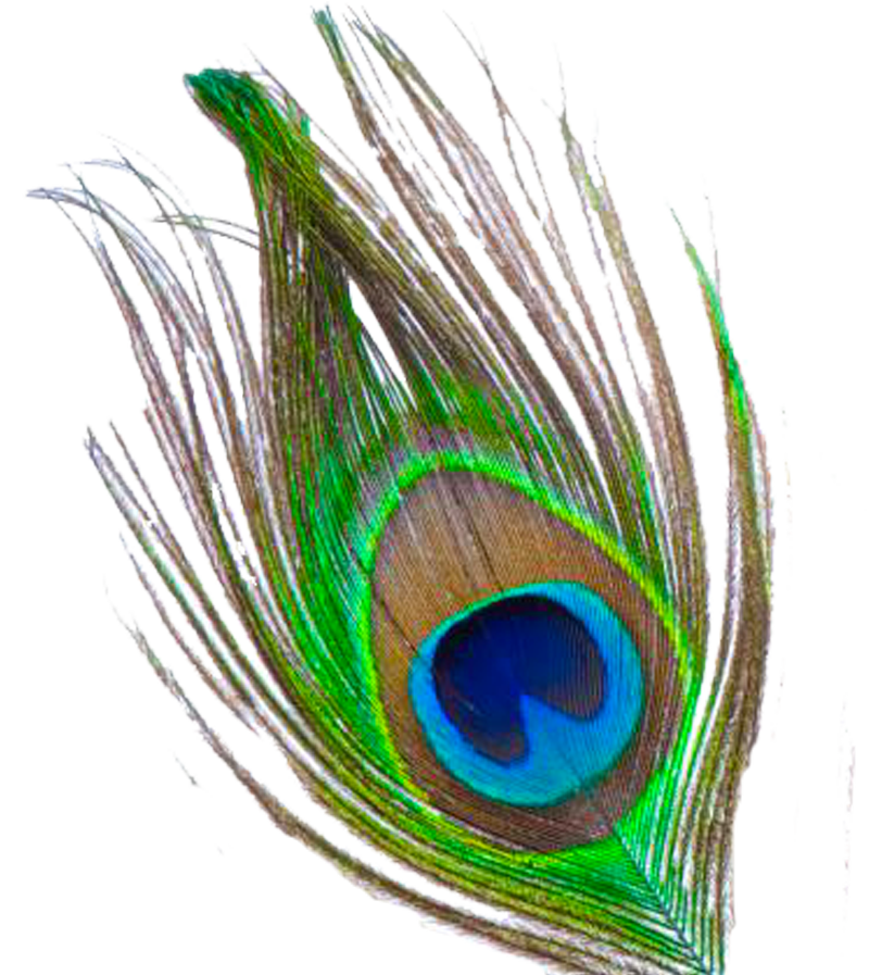 Feather free download png. Peacock clipart rainbow