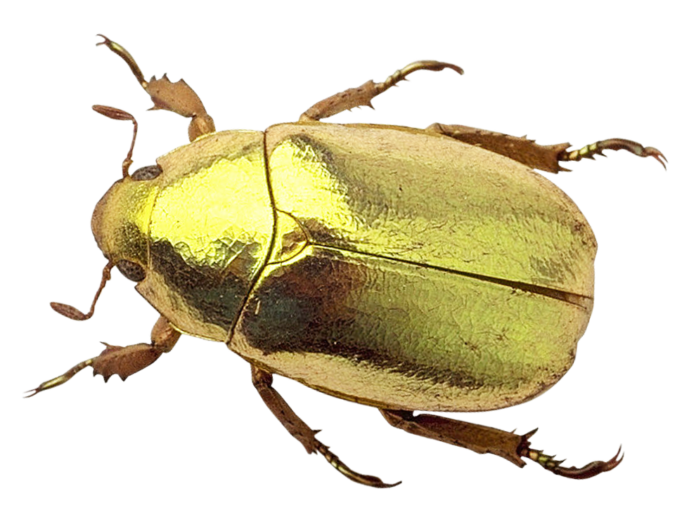 Fly clipart beetle. Png image purepng free