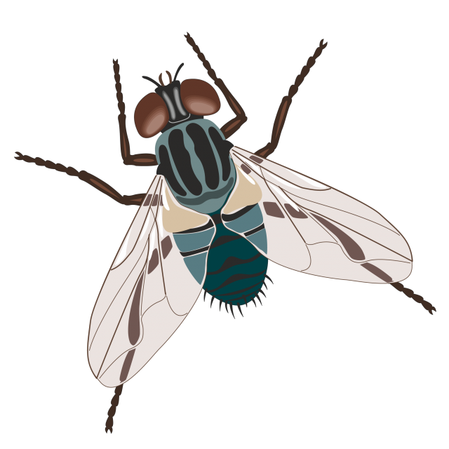 Fly clipart drosophila. Pin by elenka on