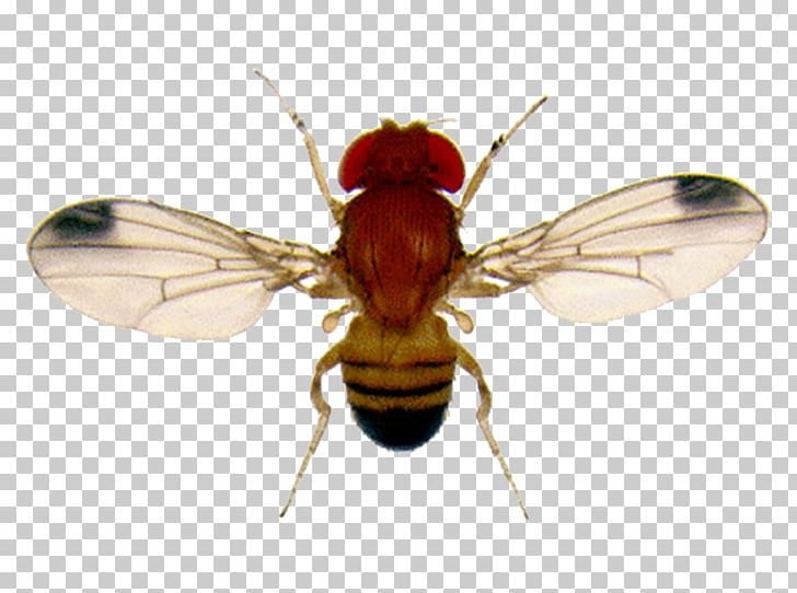 Fly clipart drosophila. Common fruit flies gnat