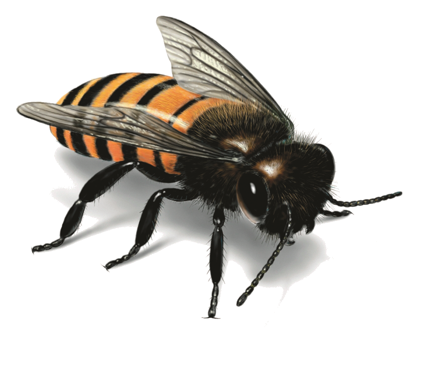 Fly clipart house fly. Bee png image purepng