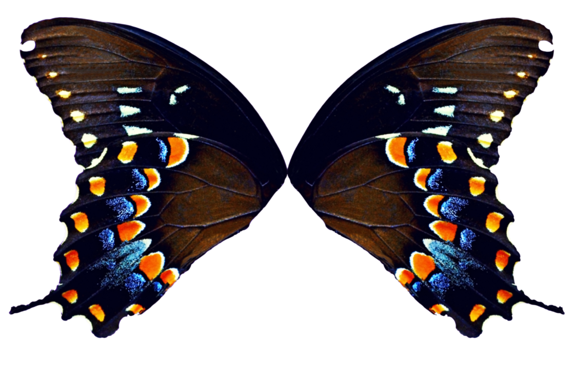 Fly clipart insect wing. Butterfly wings natural by
