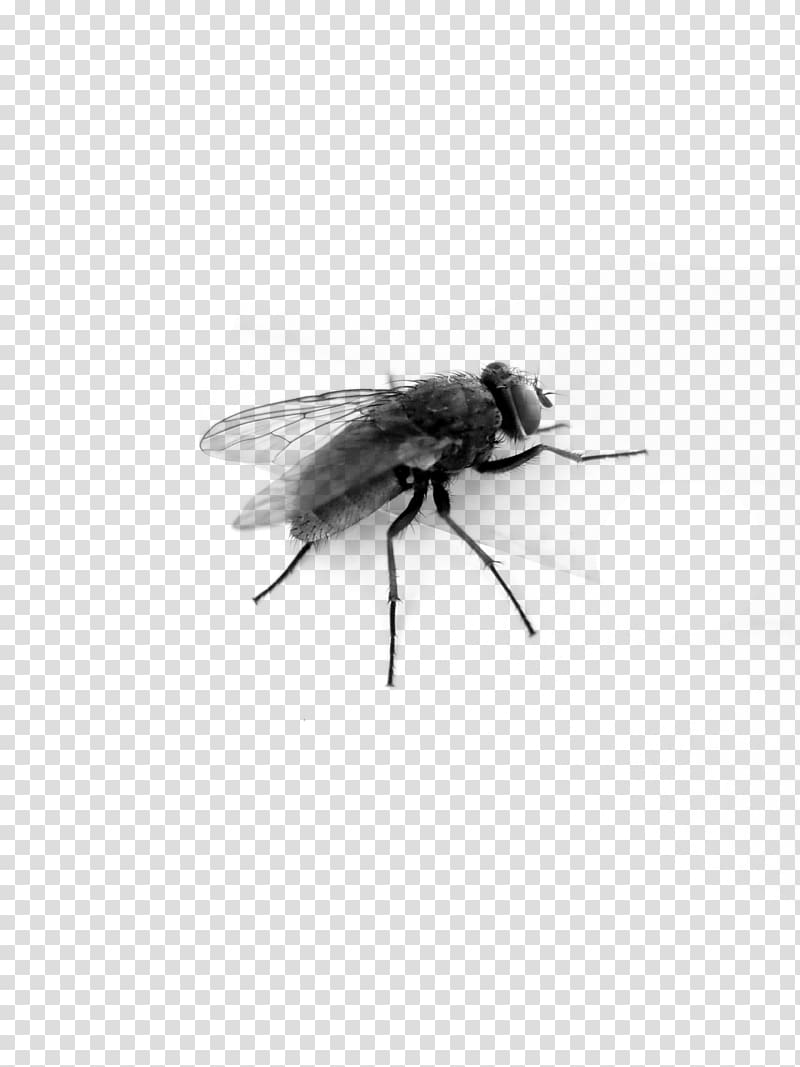 Fly clipart insect wing. Bee black and white