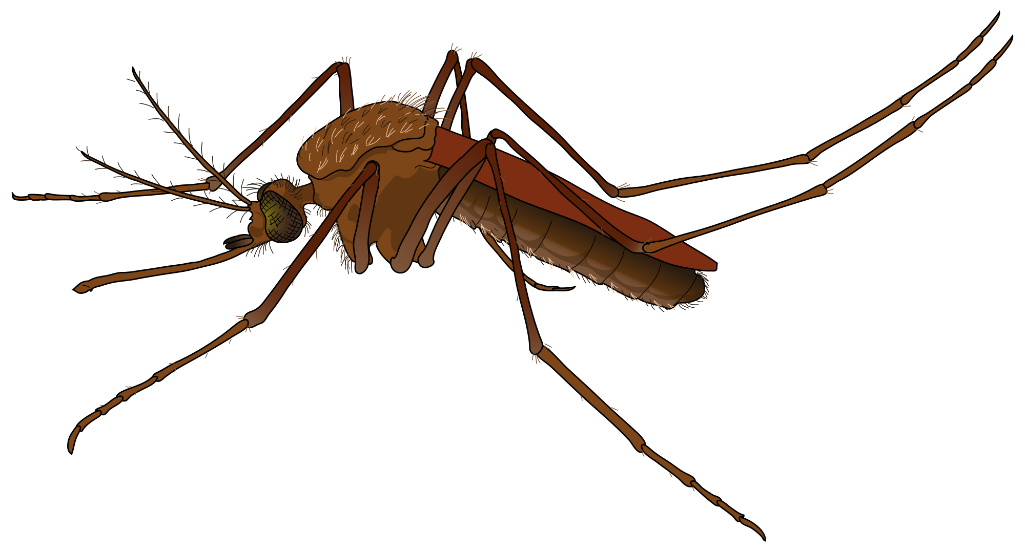 Mosquito clipart chikungunya. Png images free download