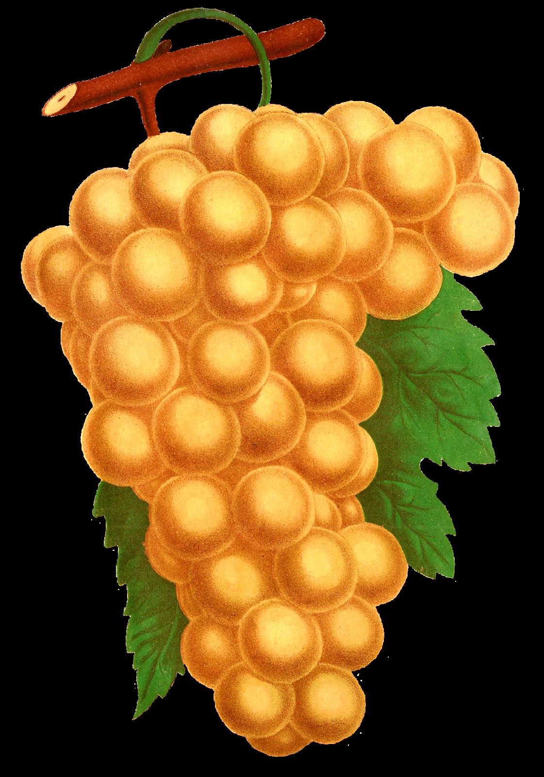 Grapes clipart illustration. Antique images stock fruit