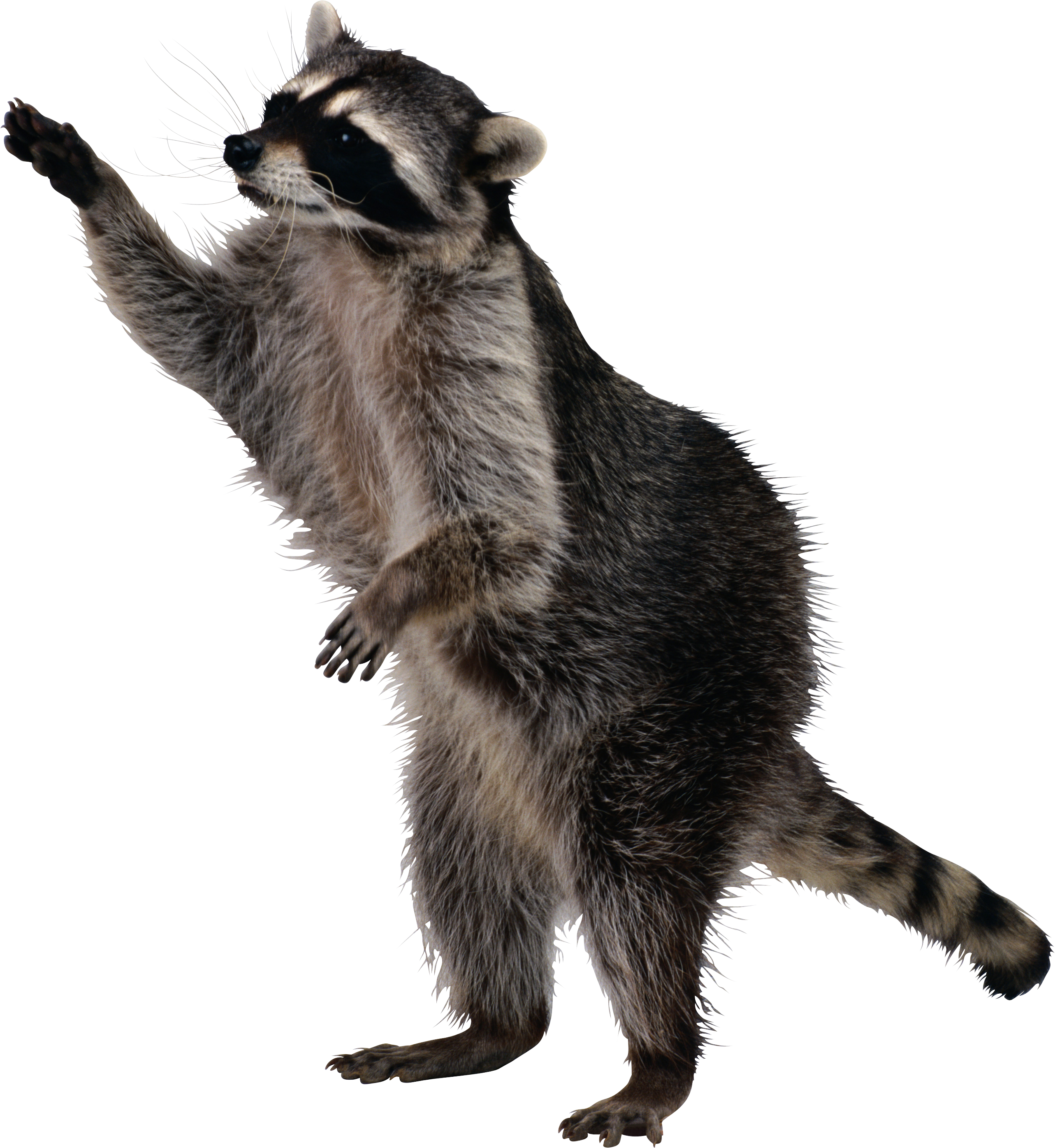 How to draw a. Racoon clipart gray