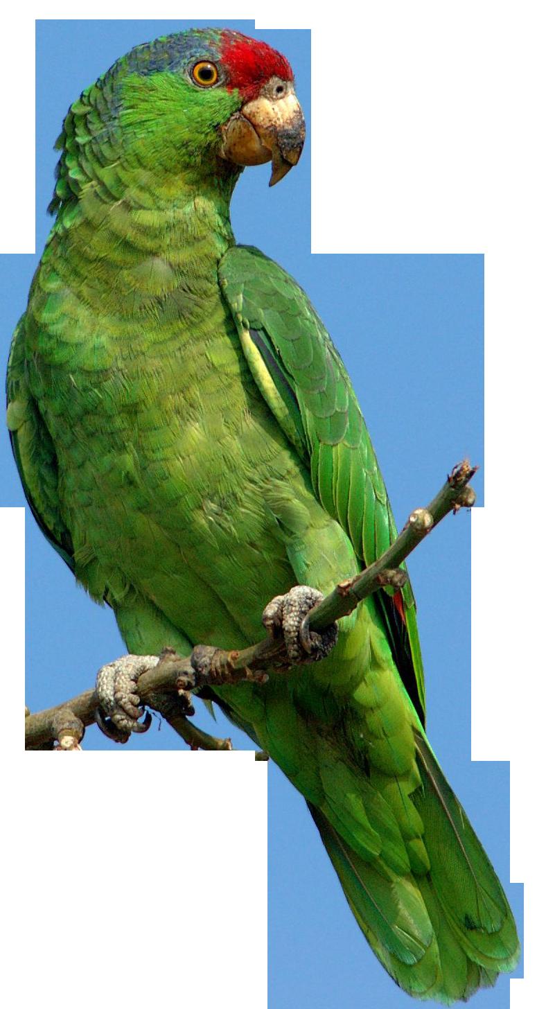 parrot clipart perico