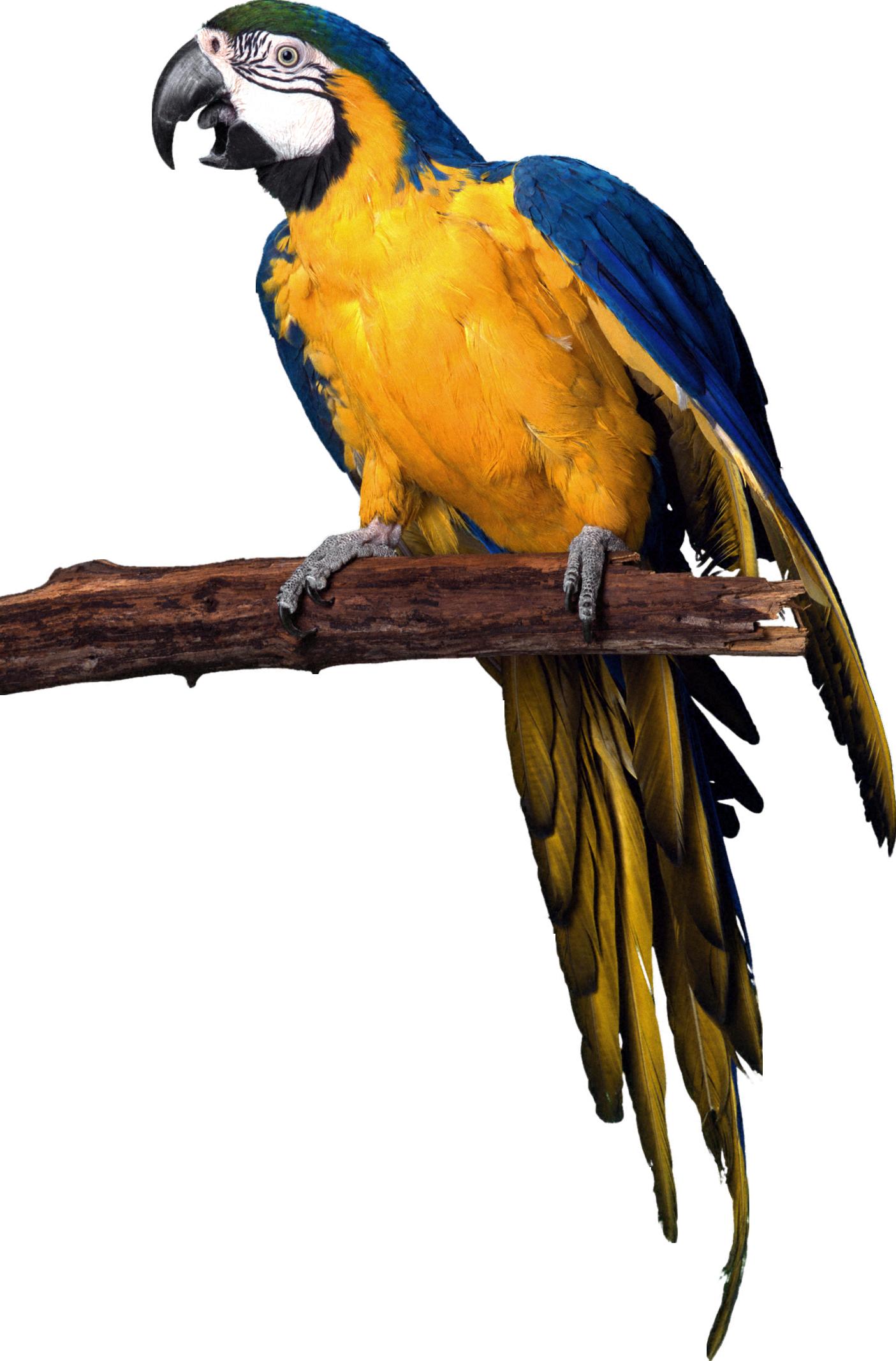 Parrot clipart guacamaya. Png arts pinterest bird