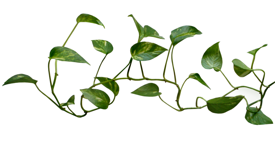 Vines clipart vine plant. And branches png transparent