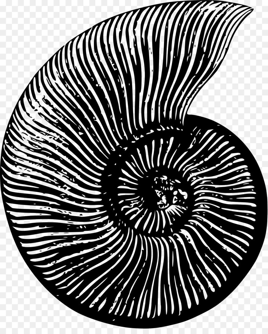 Shell clipart ammonite. Ammonites fossil nautilidae seashell