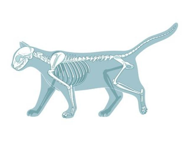 Free download clip art. Fossil clipart cat skeleton