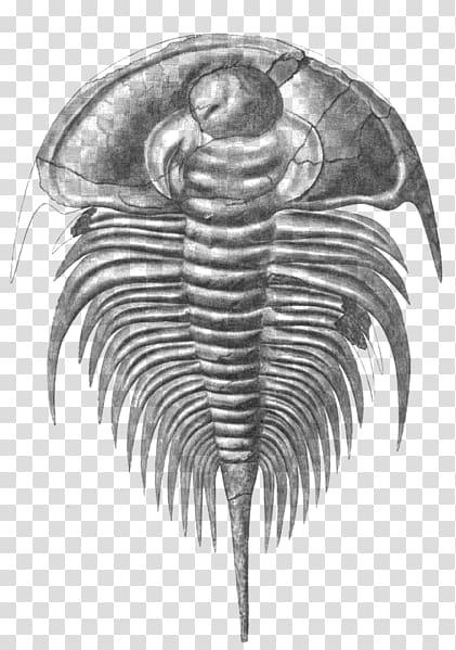 Fossil clipart invertebrate. Redlichiida olenellus cambrian marine